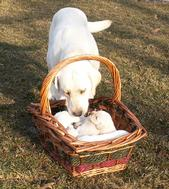 2013 Counting Puppies in basket