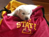 2013 IA State Puppies
