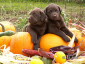 Halloween Puppies