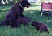 Sable's 1st Litter Aug 2004