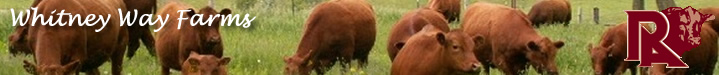 Red Angus Females Banner Image